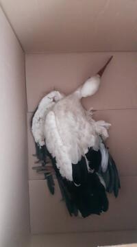 Nach Parndorf gebracht - Storch mit gebrochenem Flügel in Deutschkreutz gerettet