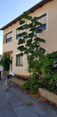 Blauglockenbaum Rasanter Bauchwuchs - Ein heikler Rekord in Neusiedl