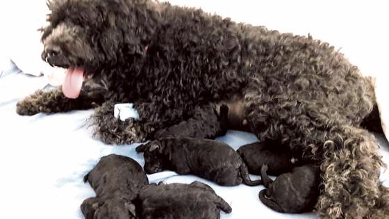 Parndorf Kaiserschnitt-Geburt von sechs Welpen