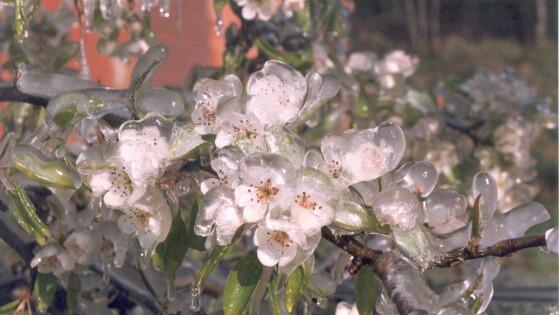 Kaltluft bringt Frostgefahr bei Obstkulturen mit sich: Erste Schäden im Südburgenland Wie Landwirte und Hobbygärtner sich schützen können.