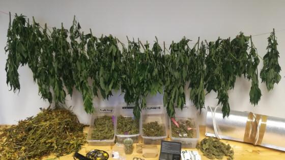 Cannabis-Indooranlage im Bezirk Eisenstadt-Umgebung sichergestellt – 1 Festnahme