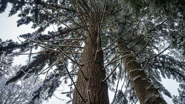 Kiefern Wald