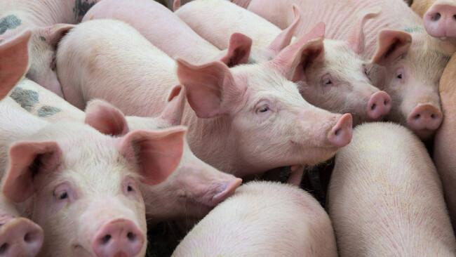 Schwein Schweine Symbolbild