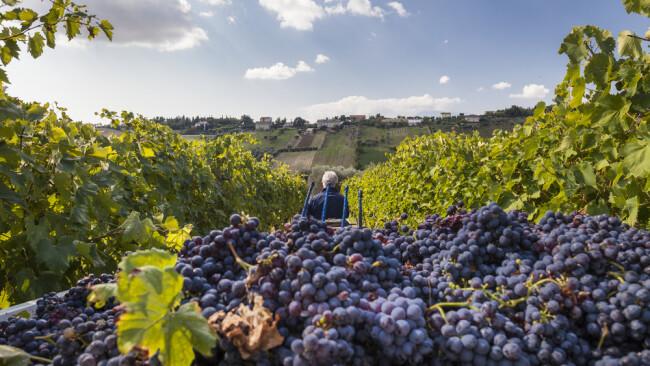 Symbolbild Wein Weinrebe Weinlese Ernte Weintrauben