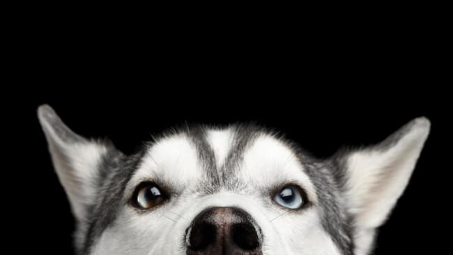 Husky Hund Symbolbild