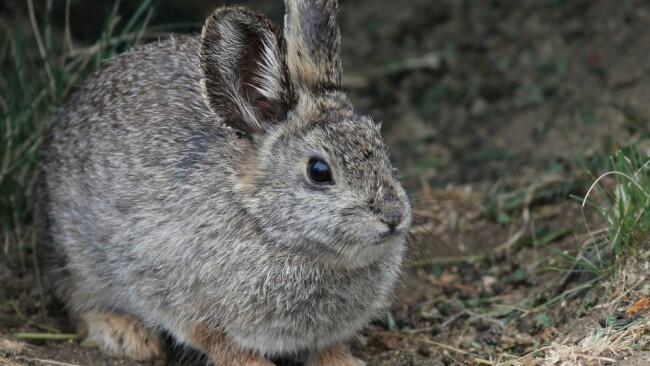 Zwergkanninchen kanninchen Hase Symbolbild