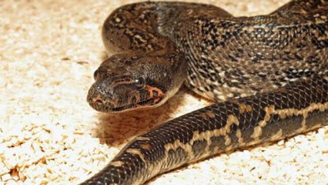Boa constrictor Schlange