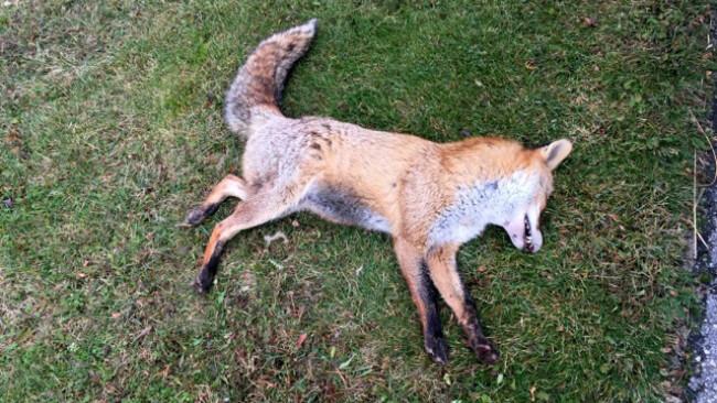 Fuchs vor Bank erlegt