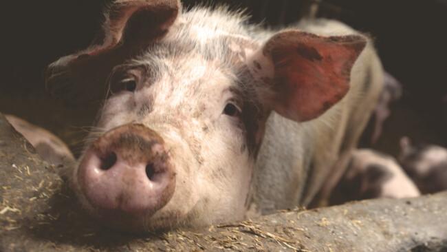 Schwein Symbolbild