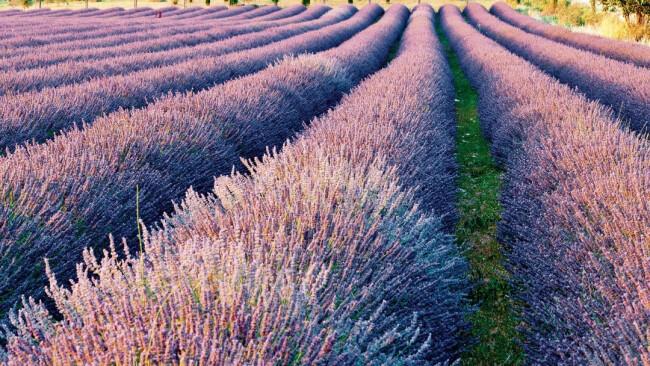 Lavendel Lavendelfeld Provence Symbolbild