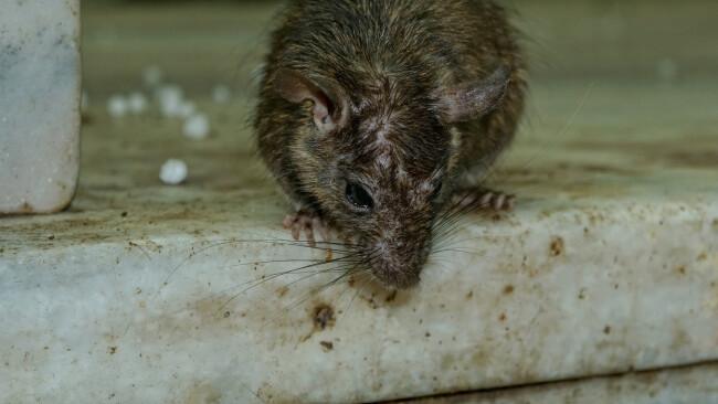 Ratten Ratte Symbolbild