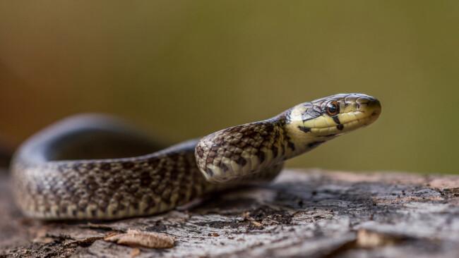 Schlange Reptil Symbolbild