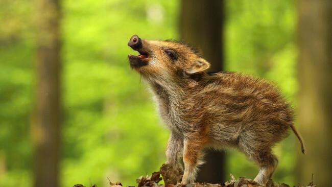 wildschwein baby frischling