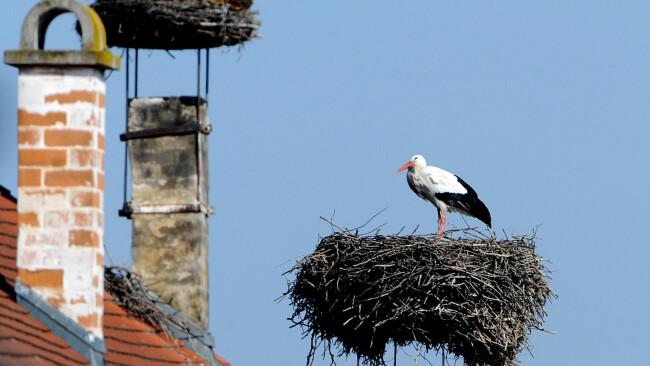 Storch Rust Nest ARCHIVBILD: FRÜHJAHRSPUTZ FÜR MEISTER ADEBARS ANKUNFT ÜBER DEN DÄCHERN VON RUST Ein Storch in seinem Nest am Montag, 21. März 2011, in Rust im Burgenland.