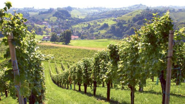 Weinstöcke Weinlese Weinbauer Weintraube Winzer