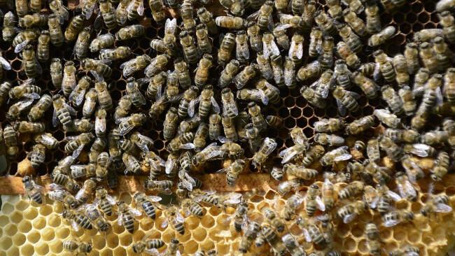"""APA12635040-2 - 07052013 - STEINBRUNN - ...STERREICH: ZU APA-TEXT CI - THEMENBILD - Bienen an Waben am Dienstag, 7. Mai 2013, im burgenländischen Steinbrunn. Heute findet ein """"Bienen-Gipfel"""" im Umweltministerium in Wien statt. APA-FOTO: ROBERT JAEGER"""