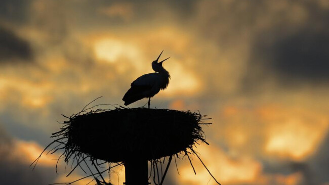 """Storch in der AbenddSmmerung Störche Ein Storch klappert am 19.02.2014 in seinem Nest bei Sandershausen (Hessen) vor dem leuchtenden Abendhimmel. Ungewshnlich frYh kehrte """"Meister Adebar"""" aus seinem Winterquartier zurYck. Foto: Uwe Zucchi /dpa +++(c) dpa"""