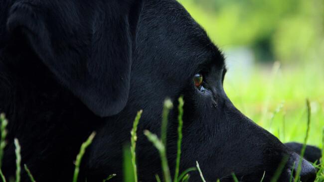 Hunde Hund Labrador Symbolbild